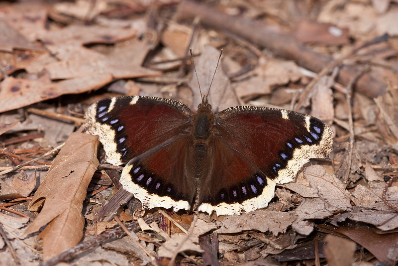 Mourning Cloak - Secor Metropark - April 23, 2011