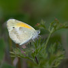 Dainty Sulphur - September 19, 2010 - Sylvan Prairie, Sylvania, Ohio<br /> A rare visitor to Ohio!  This is a deep south migrant.  This is only the third reported sighting in Ohio since 1999.