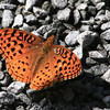and this handsome creature decided to visit and check out my driveway<br /> It is some kind of  Fritillary   maybe Great Spangled Fritillary ?