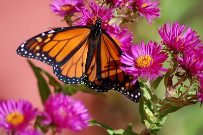 Butterflies_2006-10-08_27
