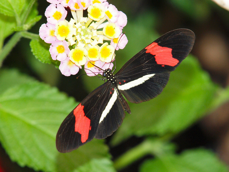 Red Postman (H. Erato) at Butterfly Jungle - 11 Apr 2010