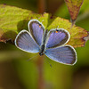 Eastern tailed Blue - September 15, 2010 - Oak Openings