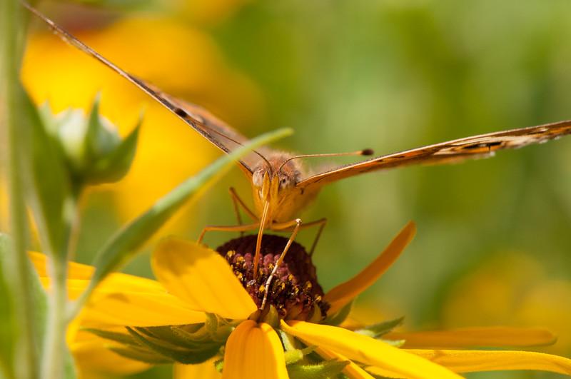 Buckeye Butterfly (11)