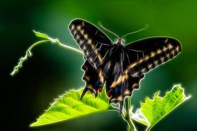 Black Swallowtail  08 19 10  022 - Edit-3