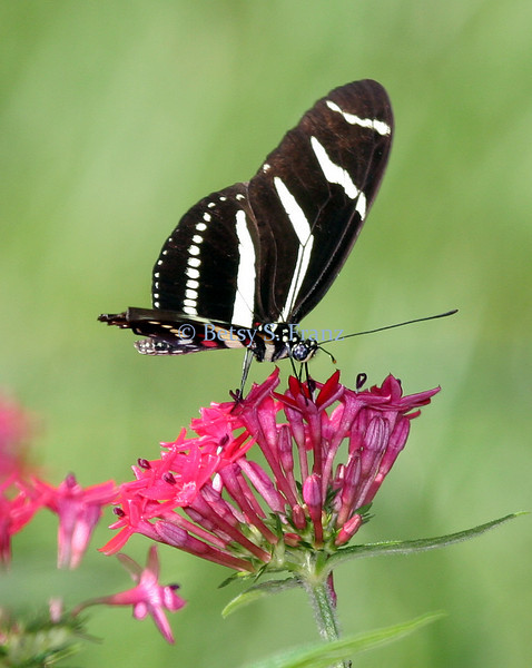 Zebra Longwing on penta