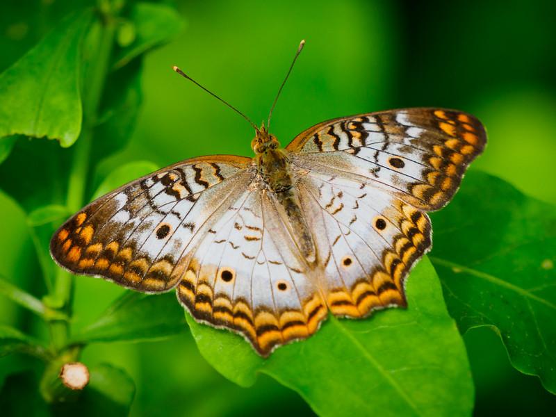 White Peacock - Butterfly Wonderland - 20 Nov 2020