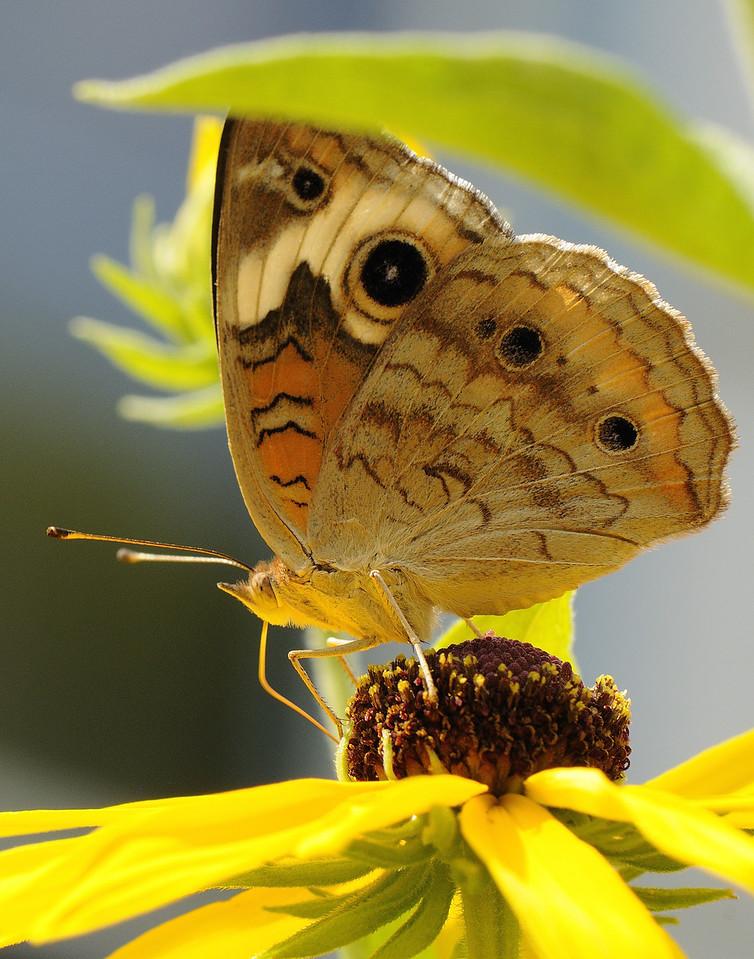 Buckeye Butterfly (14)