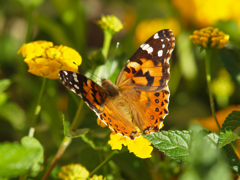Painted Lady in the back yard - 10 Oct 2010
