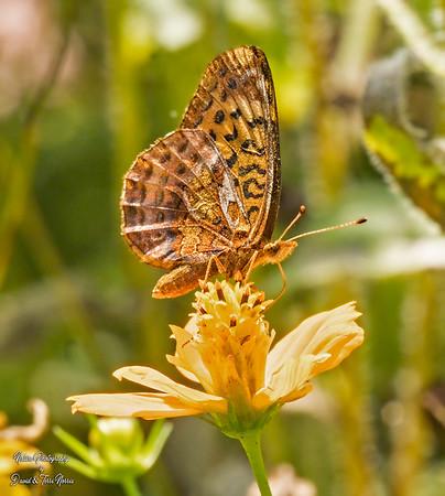 meadow fritillary_TN26514