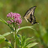 Giant Swallowtail on Swamp Milkweed - July 17, 2010