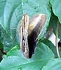 """An owl butterfly.  At about 5"""" to 6"""", these guys were the largest at the Butterfly House."""