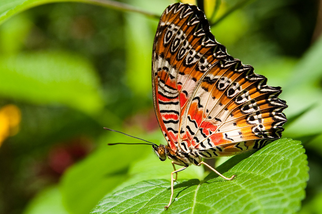 March 18, 2009 - University of Florida Butterfly Rainforest, Gainesville, Florida<br /> <br /> This particular butterfly is a Malay Lacewing, and he posed for me perfectly!