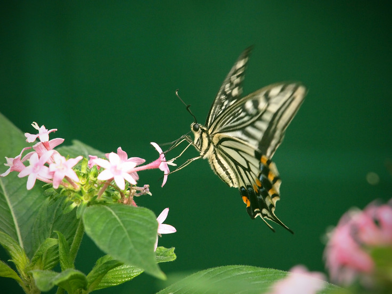 Asian Swallowtail at The Butterfly Place - 29 Mar 2011