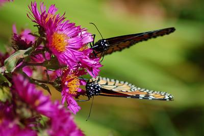 Butterflies_2006-10-08_25