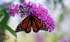 Monarch on Buddelia2