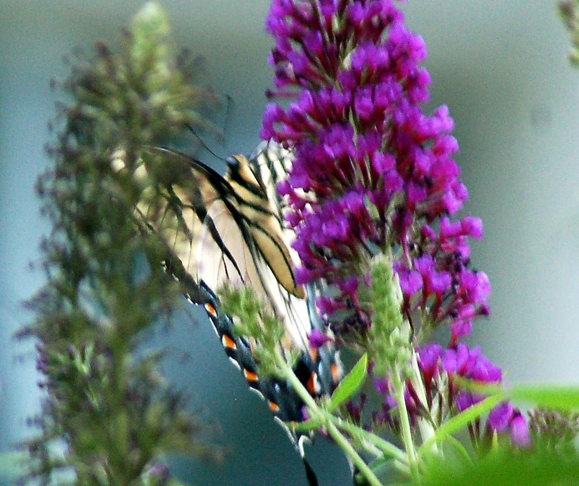 Backyard Butterfly 7-08-25