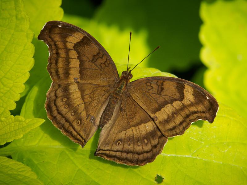 Malay Cruiser - Butterfly Wonderland - 28 Mar 2014