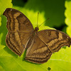Malay Cruiser - Butterfly Wonderland - 28 Mar 2014