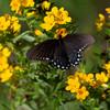 Spicebush Swallowtail
