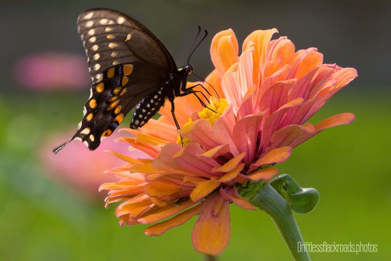 Black Swallowtail on Zinnia