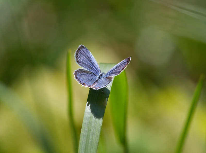 Eastern-tailed Blue - Shawnee - April 2011