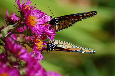 Butterflies_2006-10-08_23