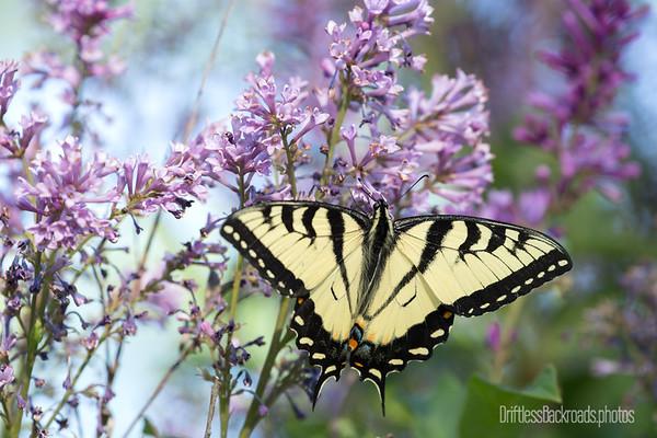 Tiger on Lilacs