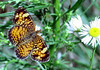 Mimic Crescentspot {Phyciodes incognitus}<br /> Madison, WI<br /> © WEOttinger, The Wildflower Hunter - All rights reserved<br /> For educational use only - this image, or derivative works, can not be used, published, distributed or sold without written permission of the owner.