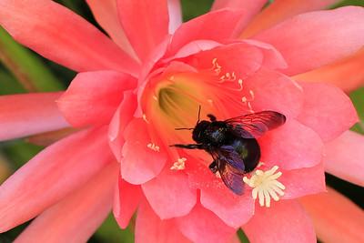 A female worker carpenter bee (Xylocopa varipuncta)