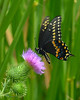 073112<br /> Black Swallowtail Butterfly
