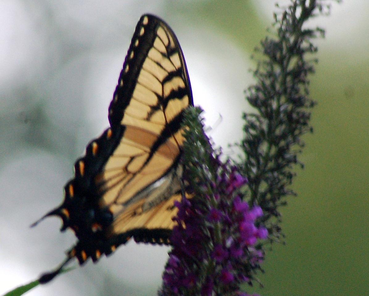 Backyard Butterfly 7-08-55
