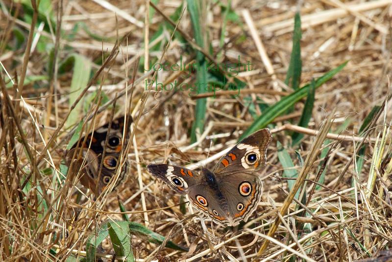 Buckeye Butterflies