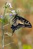 Swallowtail5474