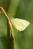 Yellowbtfly9773(8x12)