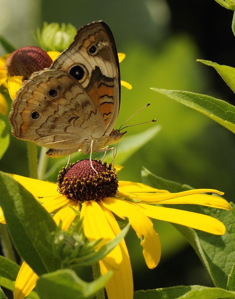 Buckeye Butterfly (3)