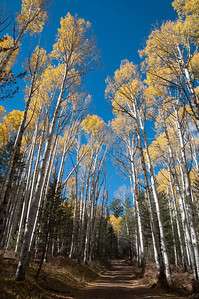 Aspen trees leaning over the road to create shade all day long on this narrow road.