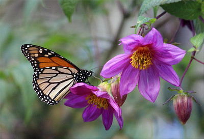 Monarch on Tree Dahlia