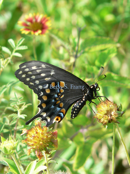 Eastern black swallowtail butterly