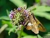 20130817_Butterflies_180