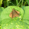 This is a Skipper. It is somewhat of a cross between a butterfly and a moth. Skippers are in a group of their own, neither true butterfly nor moth.