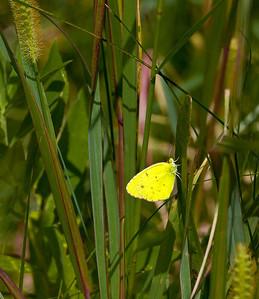 Little Yellow Eurema lisa  08 25 10  001 - Edit-2