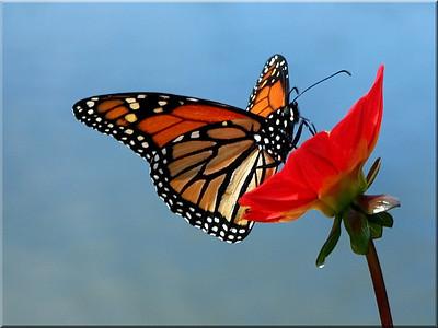 Monarch on Dahlia