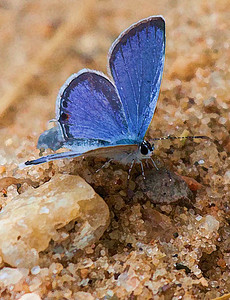 Eastern Tailed-Blue  07 20 10  018 - Edit