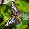 Blue Clipper - Butterfly Wonderland - 28 Mar 2014