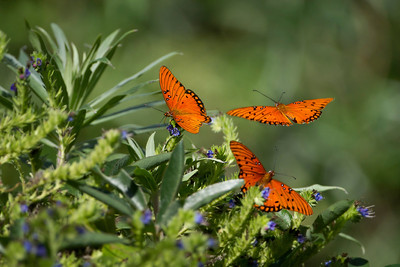 Recently hatched Gulf Fritillary Butterflies (Agraulis vanillae)