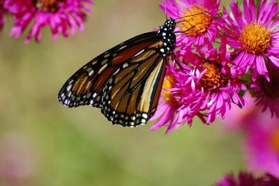 Butterflies_2006-10-08_32