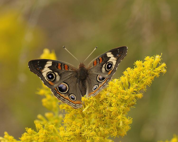 Buckeye Butterfly (2)