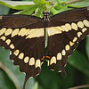 Giant Swallowtail at Pavilion of Wings - 2 June 2012