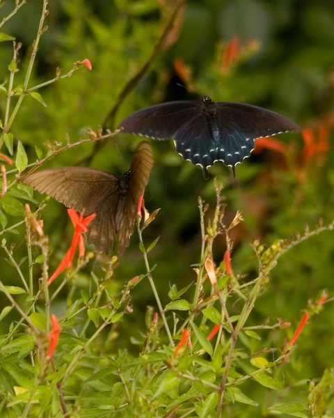 Pipevine Swallowtail {Battus philenor} and unknown on <br /> Aransas National Wildlife Refuge, TX <br /> © WEOttinger, The Wildflower Hunter - All rights reserved<br /> For educational use only - this image, or derivative works, can not be used, published, distributed or sold without written permission of the owner.