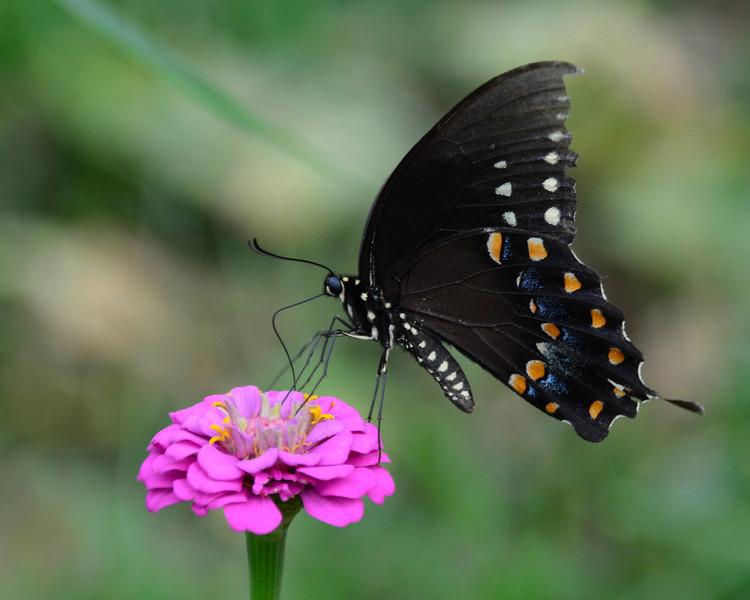 Black Swallowtail on Zinnia<br /> Double Rock Garden